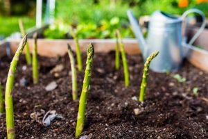 Grüner Spargel der im Garten wächst