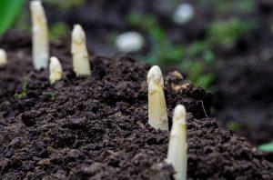 Weißer Spargel wächst im Garten